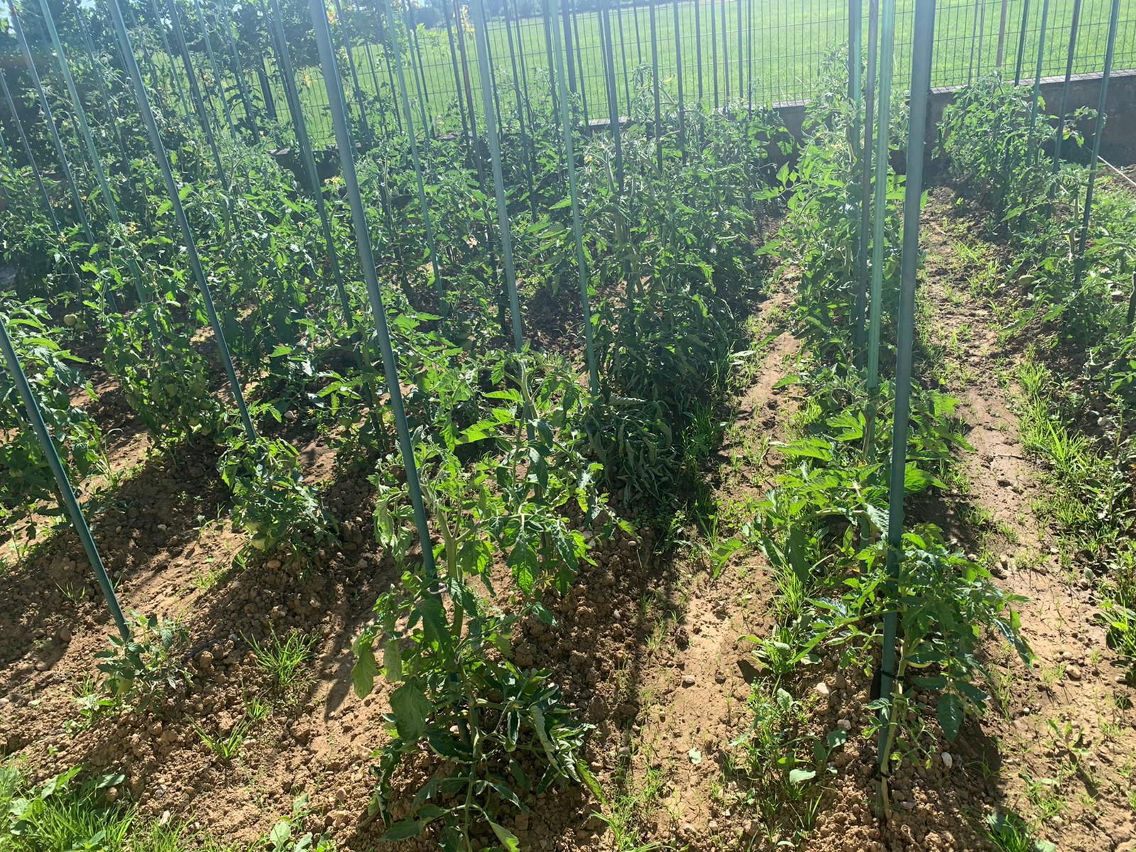 Les tomates du jardin